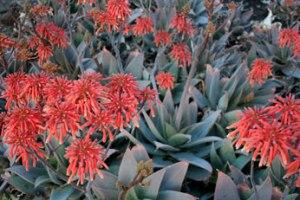 Aloe striata hybrid